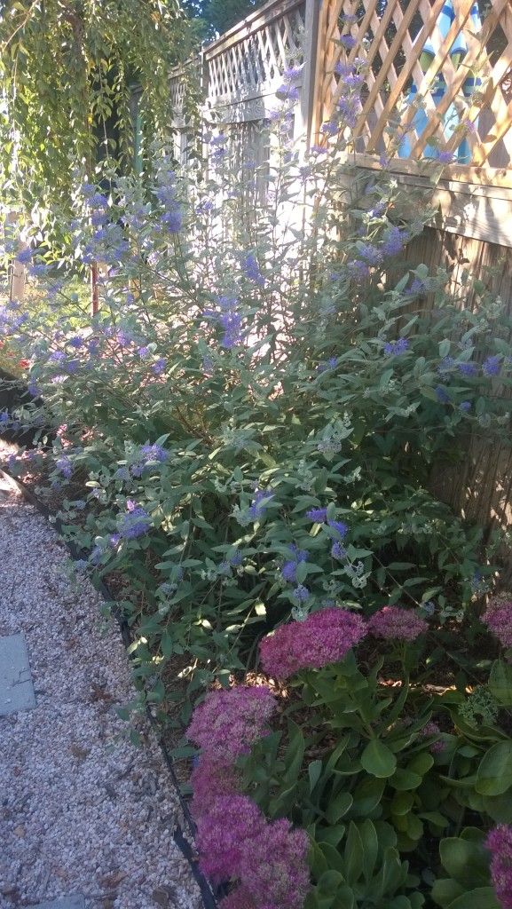 Fall blooms: Russian Sage and Sedum