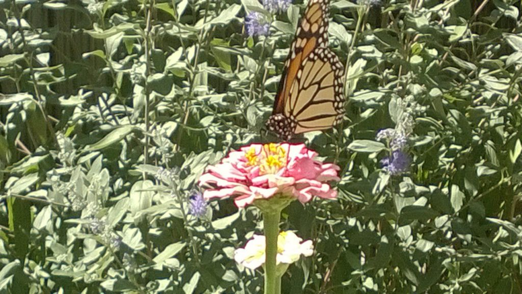 One of my favorite visitors - the Monarch